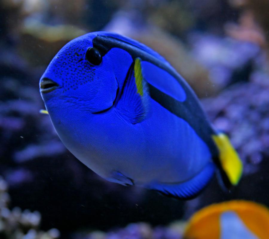 Cá đuôi gai