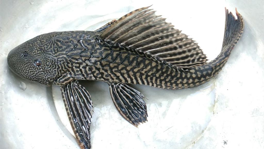 Cá lau kiếng có ngoại hình không đẹp nhưng lại không thể thiếu trong bể cá