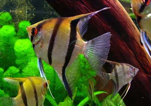 Cá thần tiên cũng là loài cá khá đẹp và bắt mắt