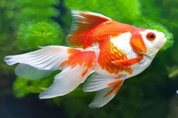 Cá vàng là một loài cá cảnh đẹp được nhiều người yêu thích