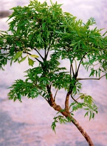 Cây có đặc điểm là lá nhỏ và hình lông chim