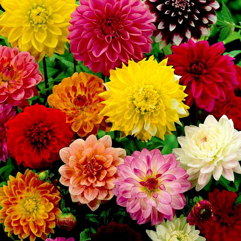 Cúc thược dược là loài hoa được yêu thích nhất