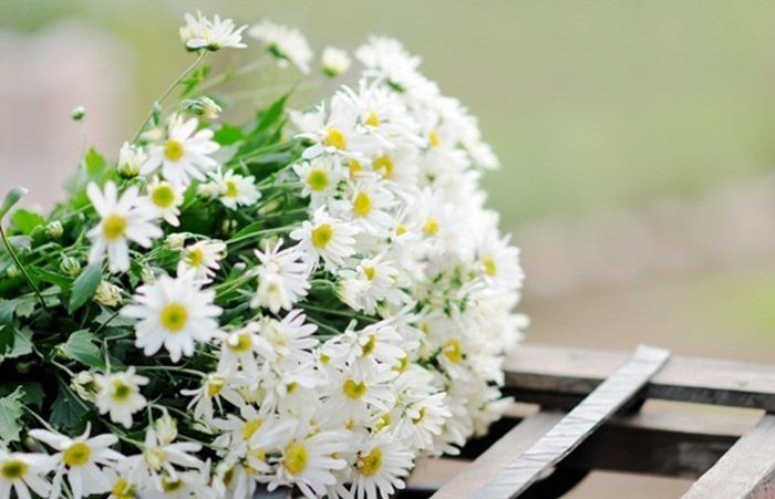 Cúc trắng tượng trưng cho lòng hiếu thảo