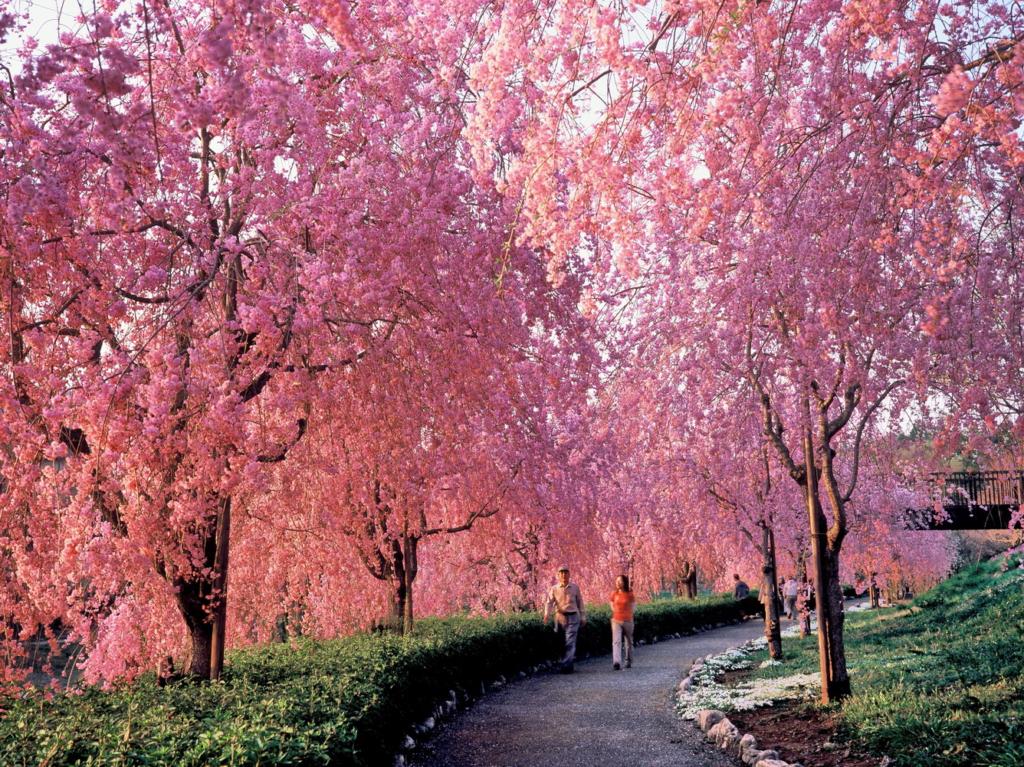 Hoa anh đào Shidarezakura Loài hoa này thường có nhiều cành rũ xuống rất đẹp