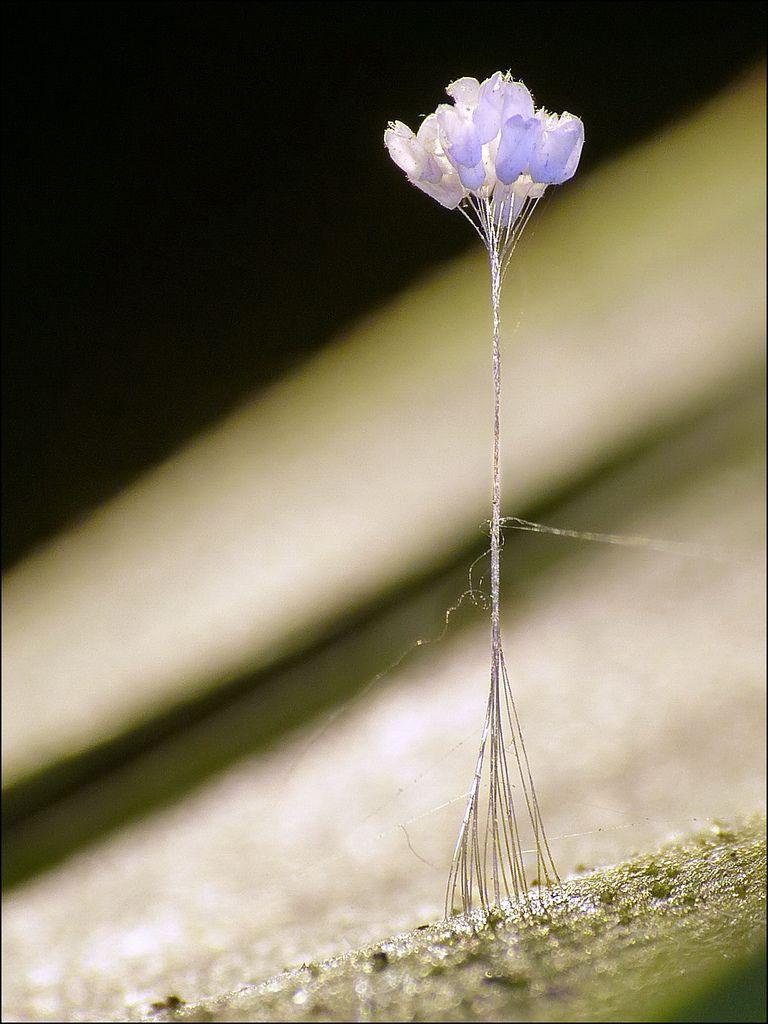 Hoa có dạng như những chiếc chuông nhỏ