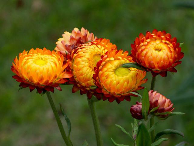 Hoa cúc bất tử có màu sắc độc đáo
