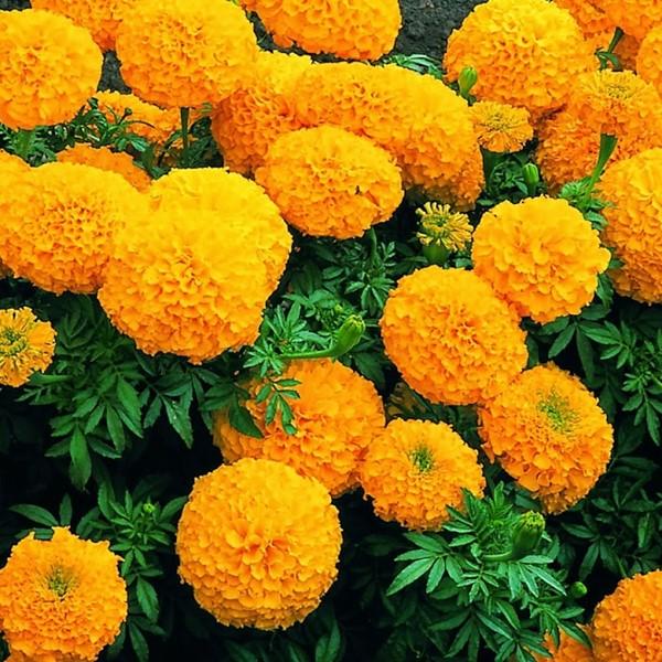 Hoa cúc vạn thọ còn được sử dụng để làm trà