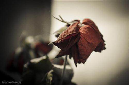 Hoa hồng biểu tượng cho tình yêu, nhưng hoa hồng héo rũ xuống lại biểu tượng cho tình yêu tan vỡ, chia ly. Đây là một hình ảnh buồn về tình yêu tan vỡ đẹp, ý nghĩa