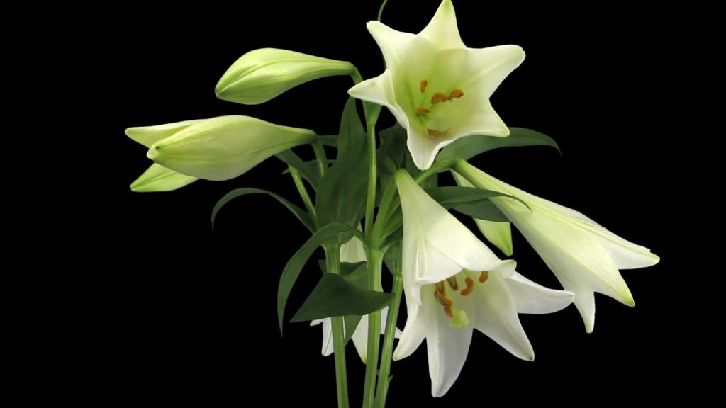 Hoa loa kèn là biểu tượng của quý tộc