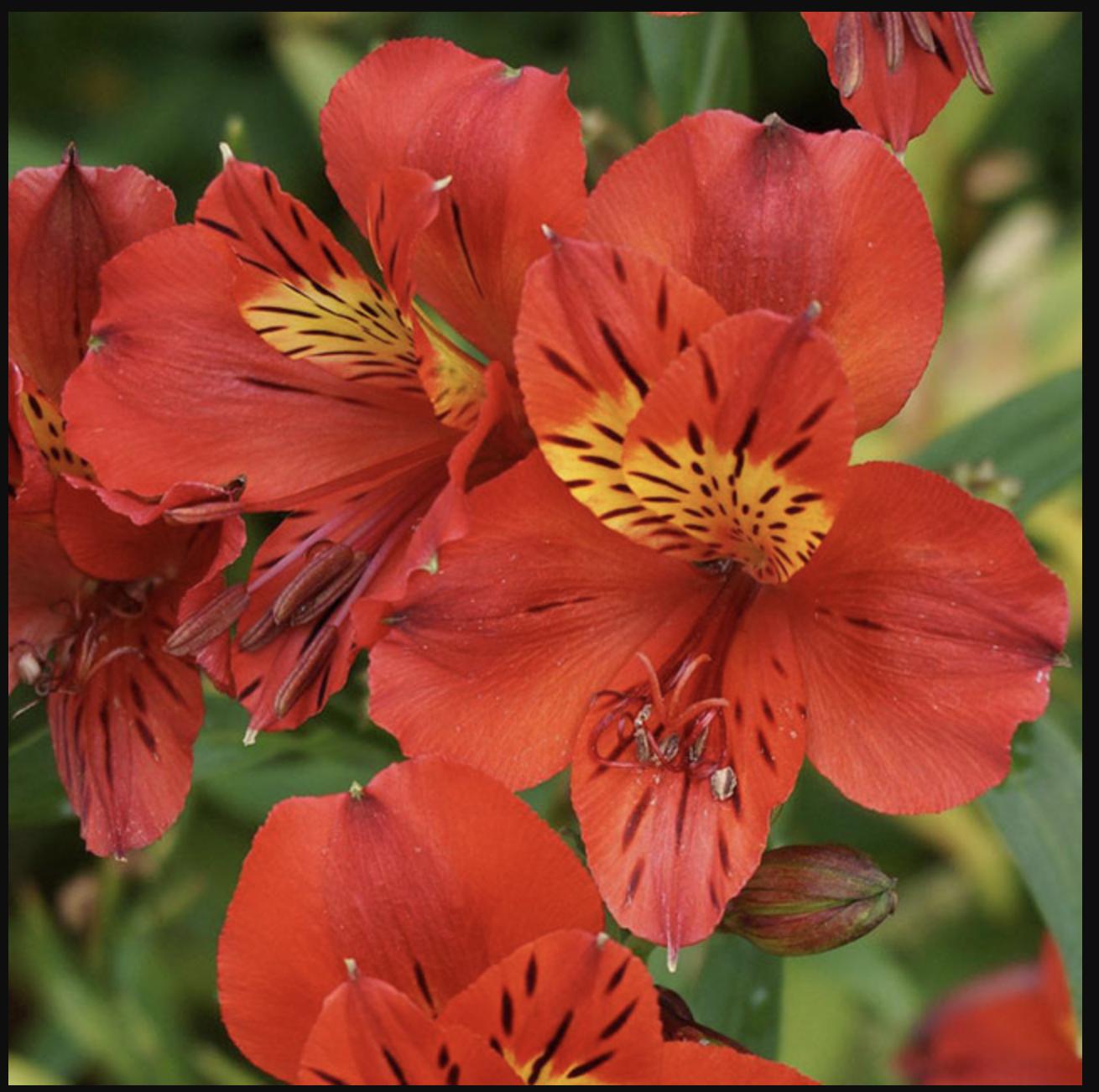 Hoa thuỷ tiên đỏ