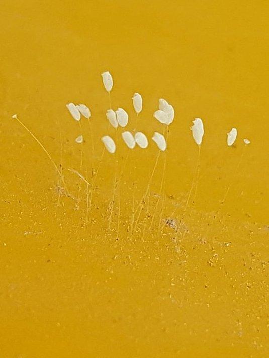 Hoa ưu đàm có hình dáng rất nhỏ và khó quan sát