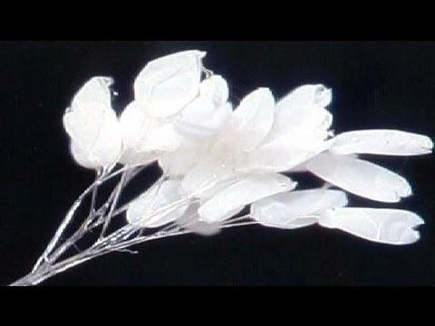 Hoa ưu đàm có thân mỏng và trong suốt