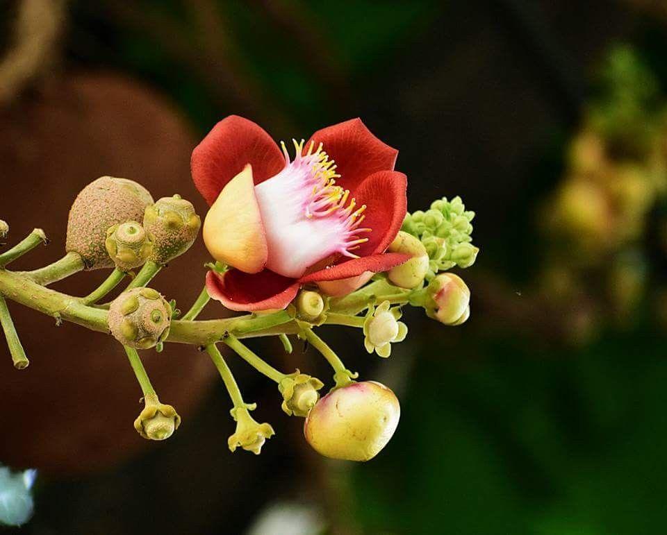 Hoa ưu đàm trong kinh phật là loài cây có quả