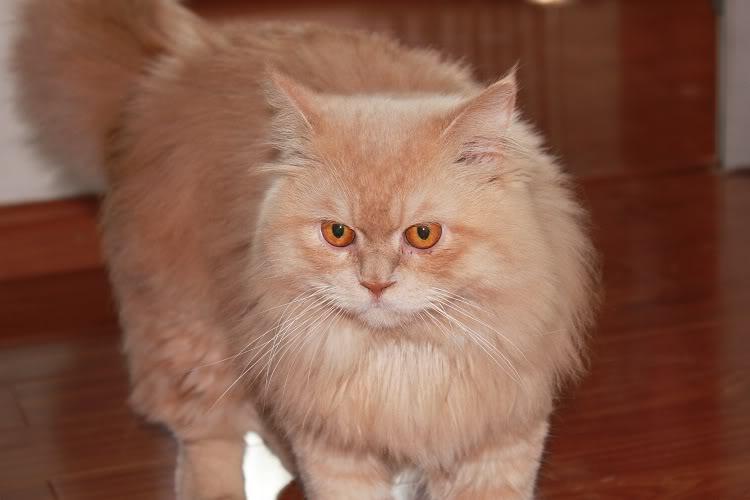 Mèo anh lông dài có bộ lông rất dày và đẹp