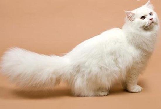 Mèo anh lông dài được nuôi rất nhiều hiện nay