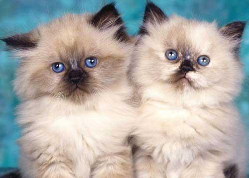 Mèo himalaya là loài mèo dễ thương nhất hiện nay