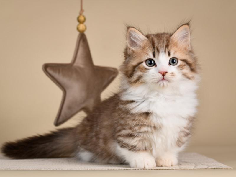 Mèo munchkin chân ngắn cũng là loài mèo dễ thương nhất hiện nay