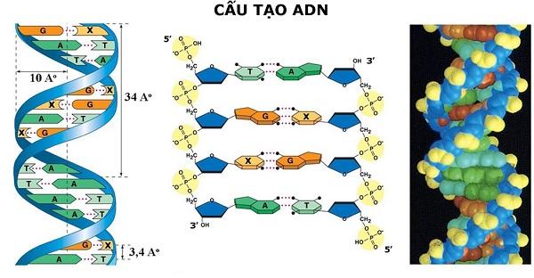 mô tả cấu trúc không gian của adn và hình ảnh cấu trúc adn