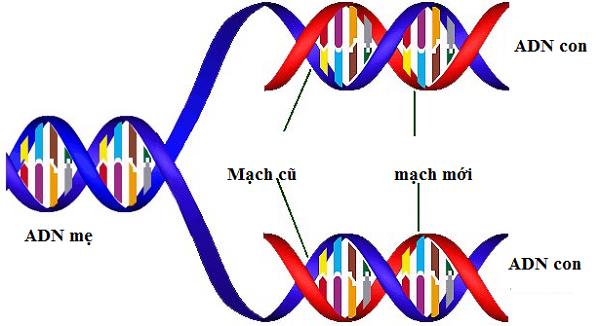 mô tả cấu trúc không gian của adn và sự phân đôi của ADN trong quá trình sinh sản