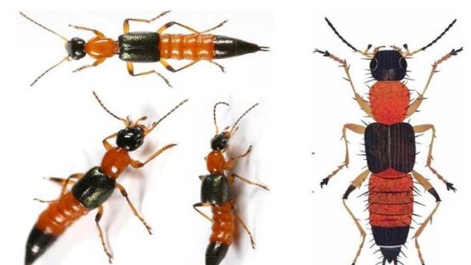 Nhận biết kiến ba khoang qua đặc điểm hình thể của nó
