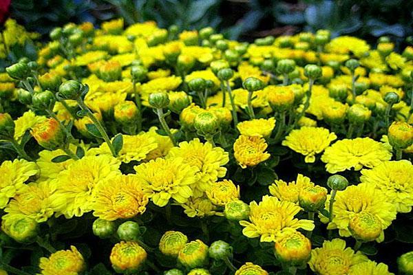 Những mẫu hoa cúc đẹp nhất hiện nay
